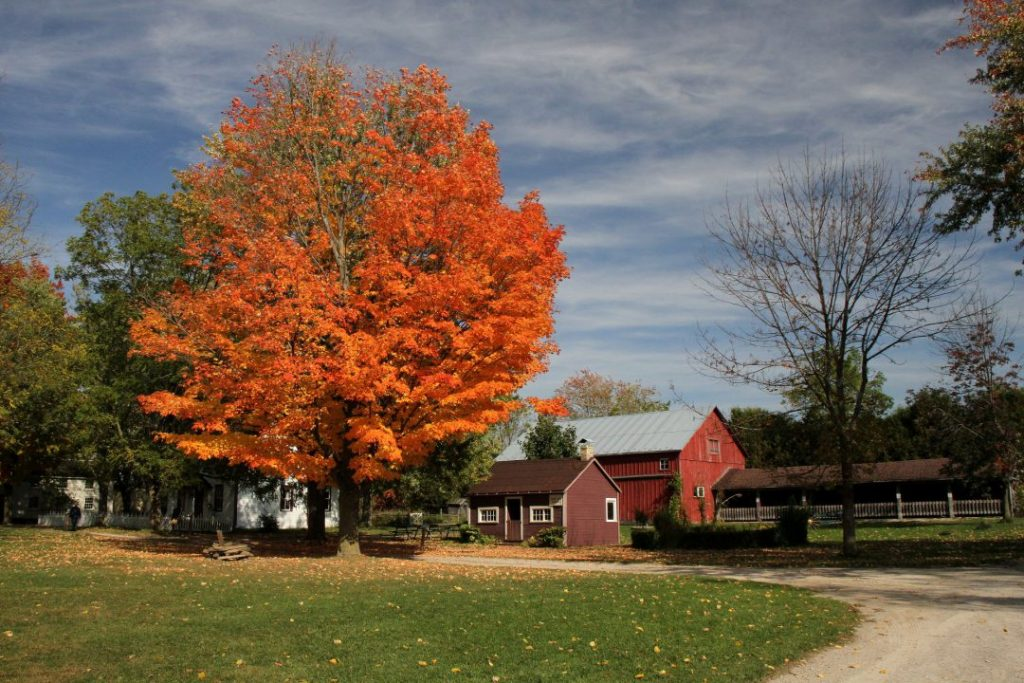 view of tree changing red in the fall with old farmhouses with large grass patch in front