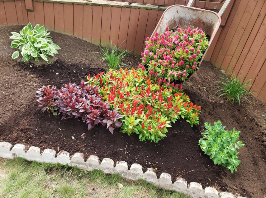 a recently landscaped garden with a large wheelbarrow filled with pink flowers almost tipped over on top of dark soil