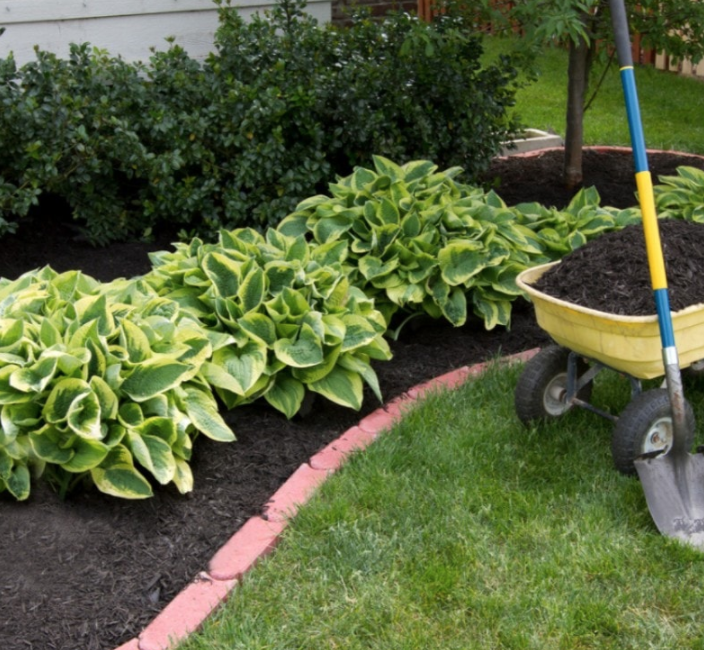 recently mulched garden with a line of three hostas in front of a line of bushes with a wheelbarrow full of mulch beside