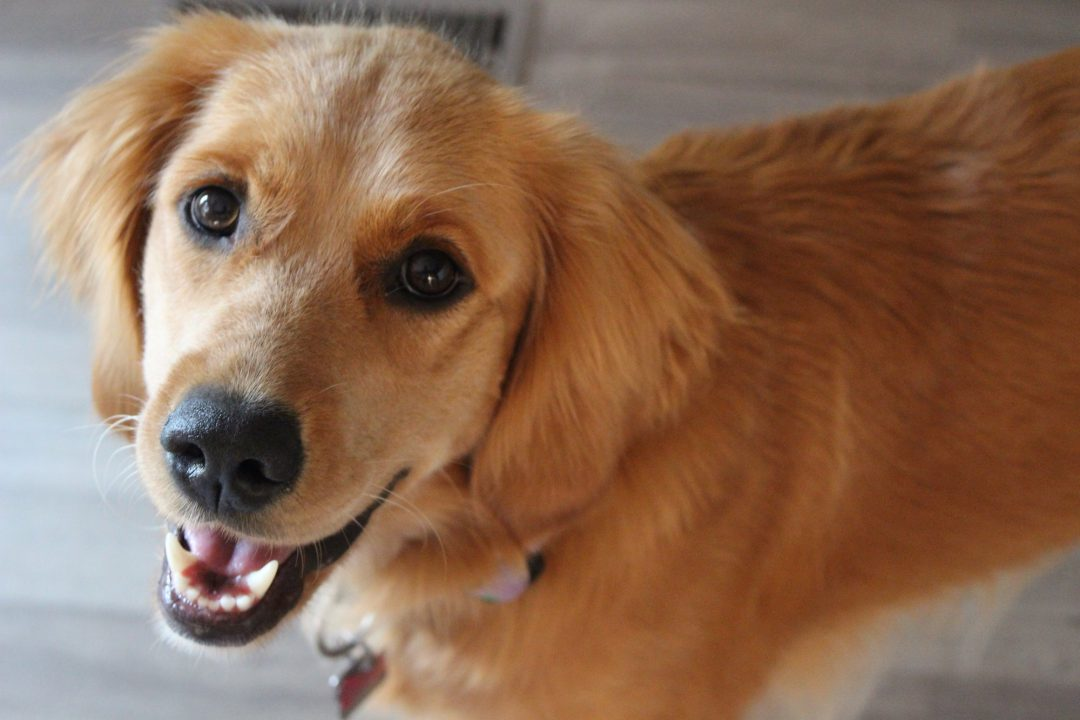 A portrait photograph of a young female golden retriever