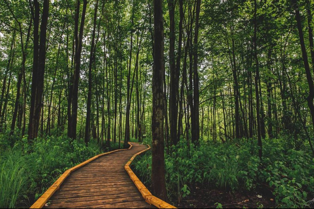 wood walkway forest surrounded by trees