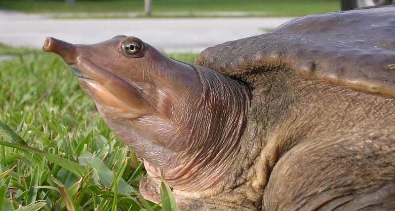 Turtle in Grass with long snout